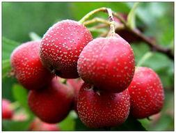 想要养肝可以吃酸味水果